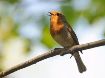 62885084 - singing robin (erithacus rubecula) in spring. moscow region, russia