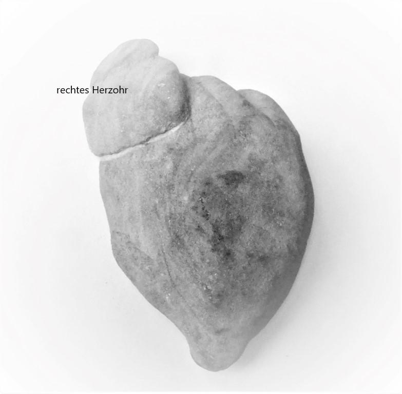 Herzohr01 (Medium)